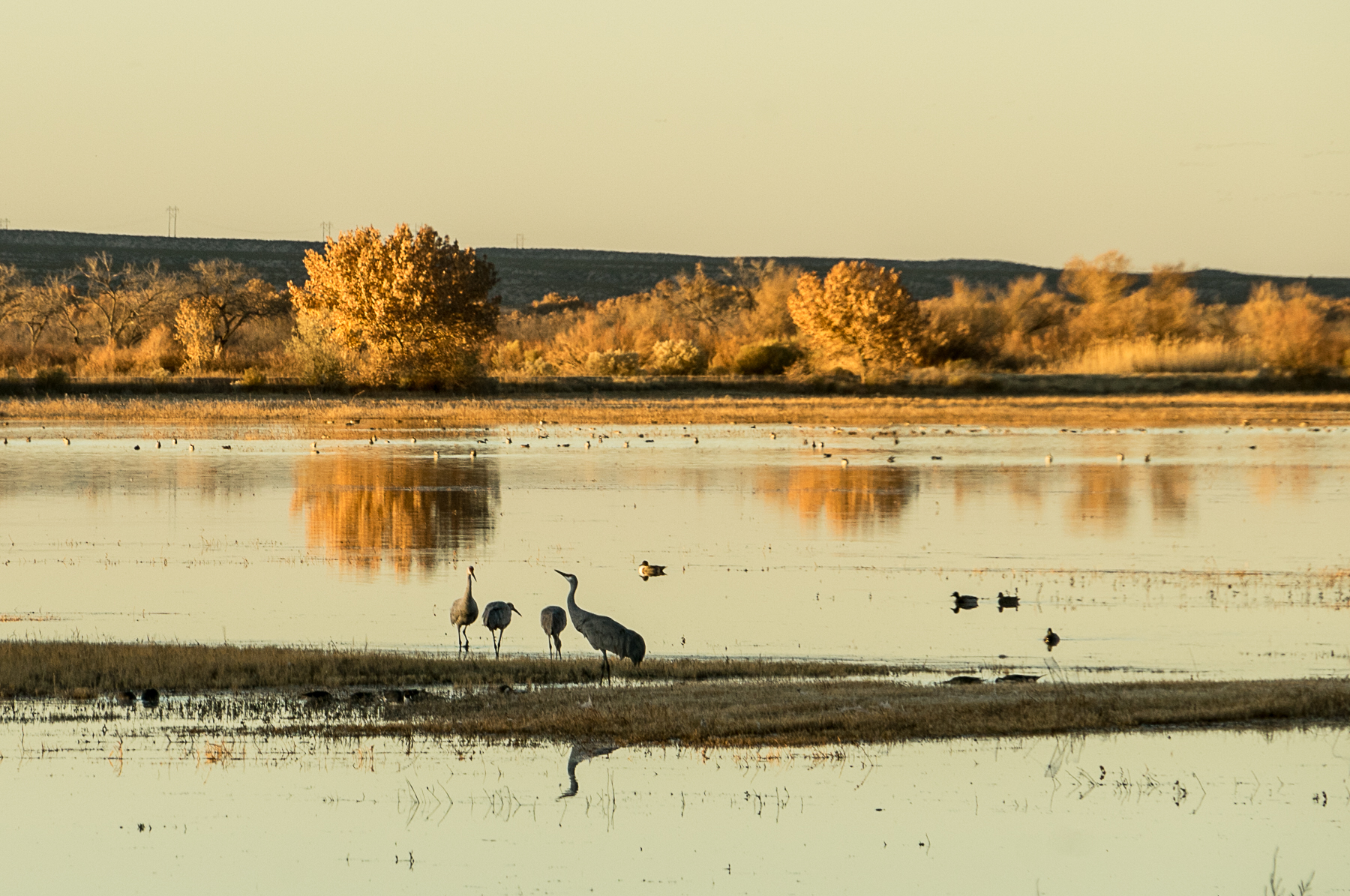 Bosque del Apache, Sandhill Crane, Cranes, Sandhills, Bosque del Apache NWR, Bosque del Apache National Wildlife Refuge, National Wildlife Refuge, NWR, New Mexico, desert, agave, yucca, National Monument